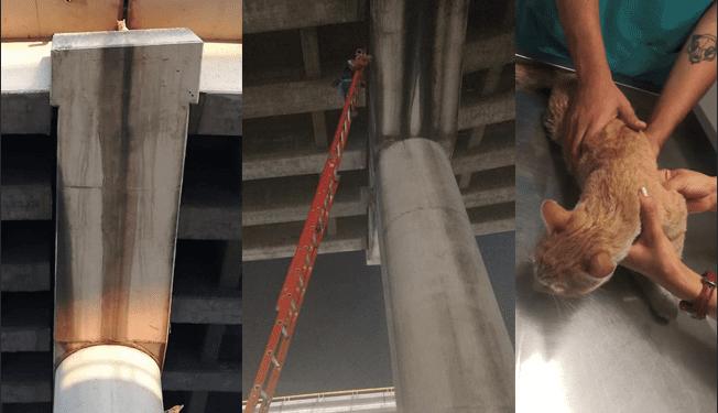 Bonetti, el gato que sobrevivió 1 mes en un pilar del Distribuidor Juárez