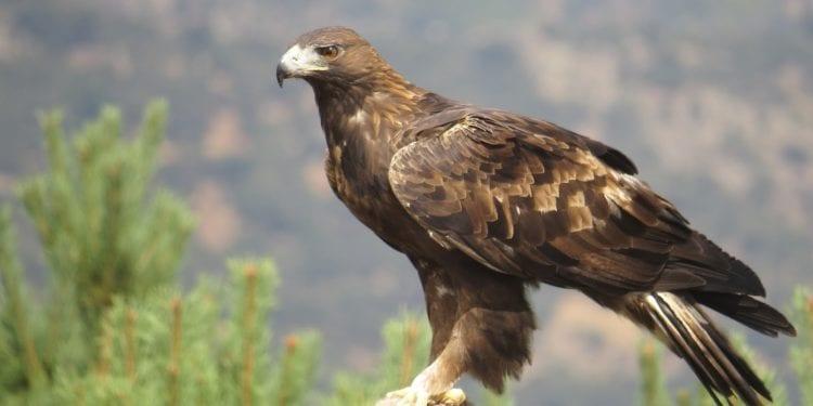 Águila Real en SLP