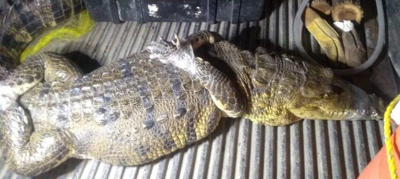 cocodrilo en Tamuín