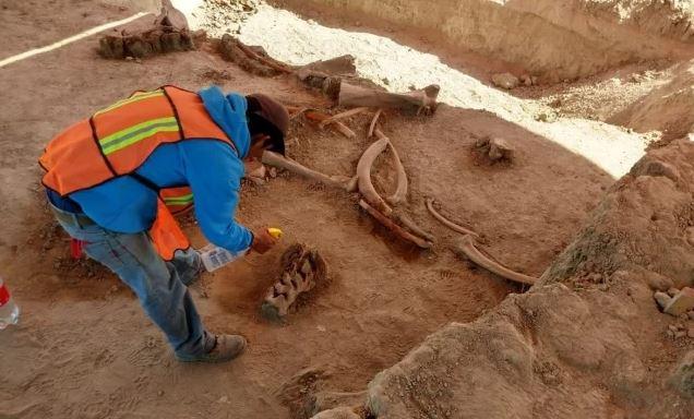 Encuentran osamentas de mamuts en obras de Santa Lucía
